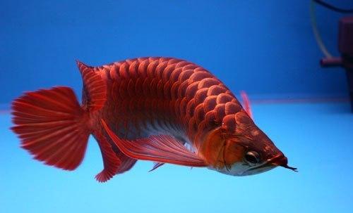 Ikan Arwana Termahal di Dunia