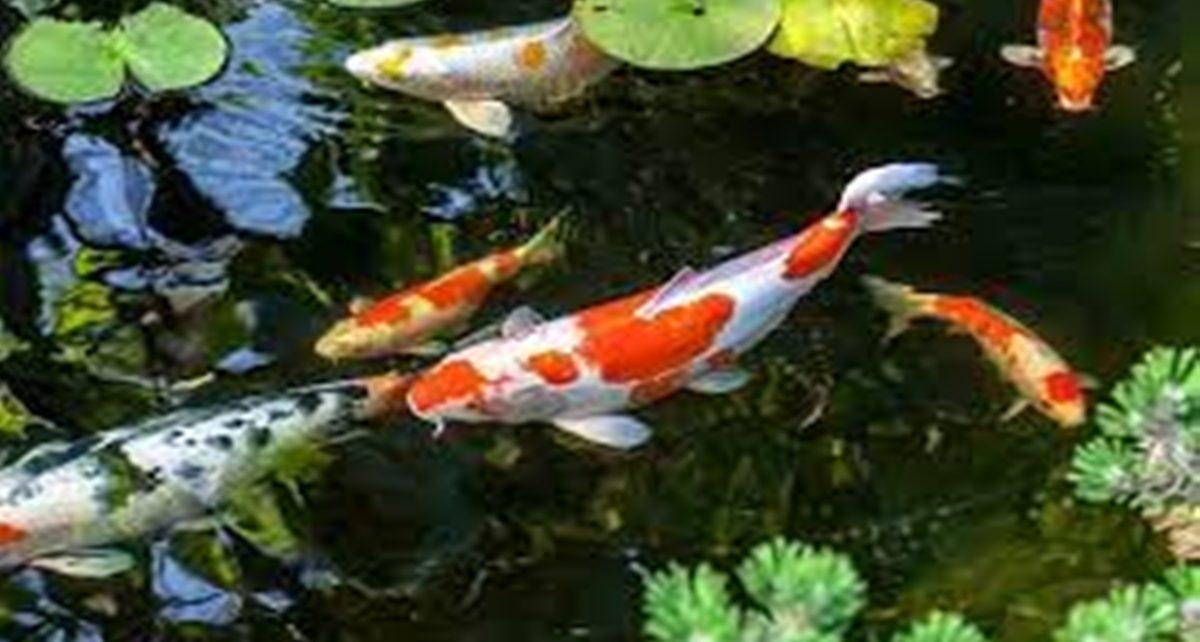 10 Jenis Ikan Koi Beserta Harga