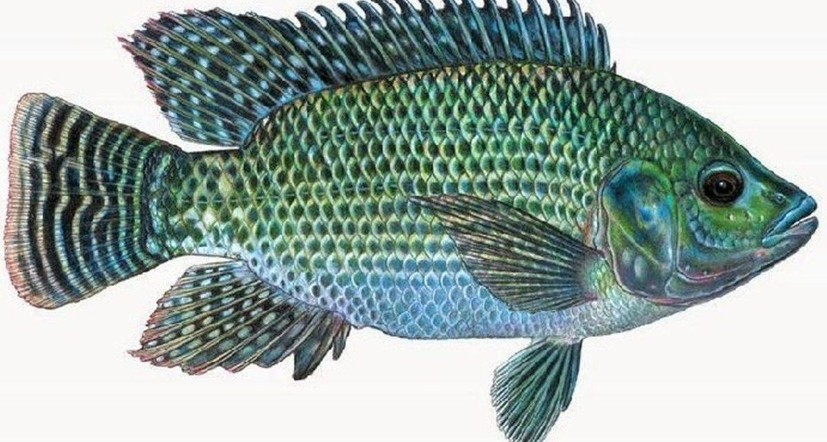 12 Jenis Ikan Ternak Air Tawar yang Sering Dibudidayakan, Mudah Ditemukan